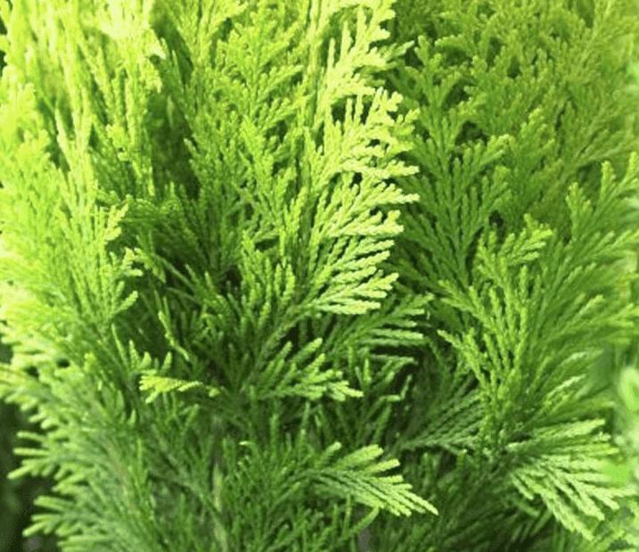 Eine zu hohe Thuja schneiden - Tipps vom Gärtner