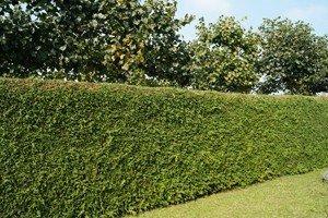 Der Lebensbaum, eine vielseitige Pflanze für jeden Garten