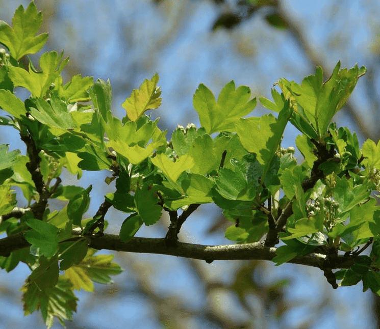 Weißdorn pflanzen: Wann ist der richtige Zeitpunkt?