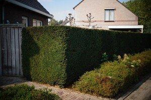 4 immergrüne Sträucher für einen grünen Garten im Winter