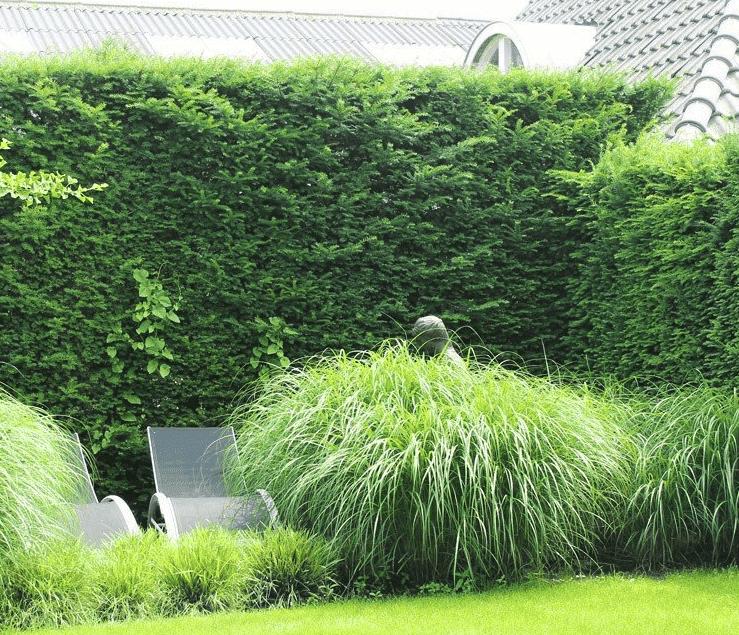 Taxus Baccata pflanzen - Pflanzzeit, Schrittanleitung & Pflanzabstand