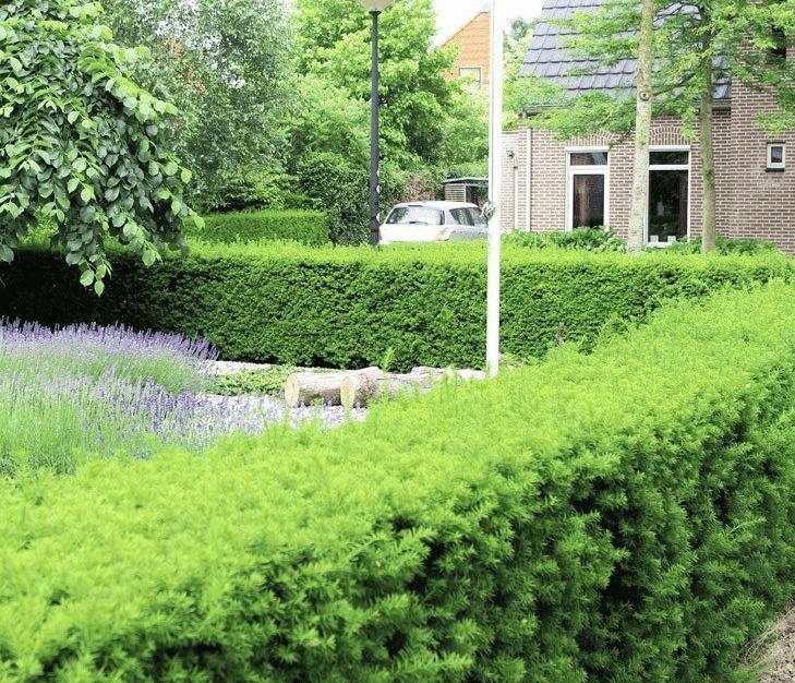 Tipps zur Bewässerung einer Eibe (Taxus)