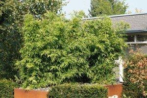 Kann man Bambus im Kübel pflanzen? - Anleitung & Pflegetipps