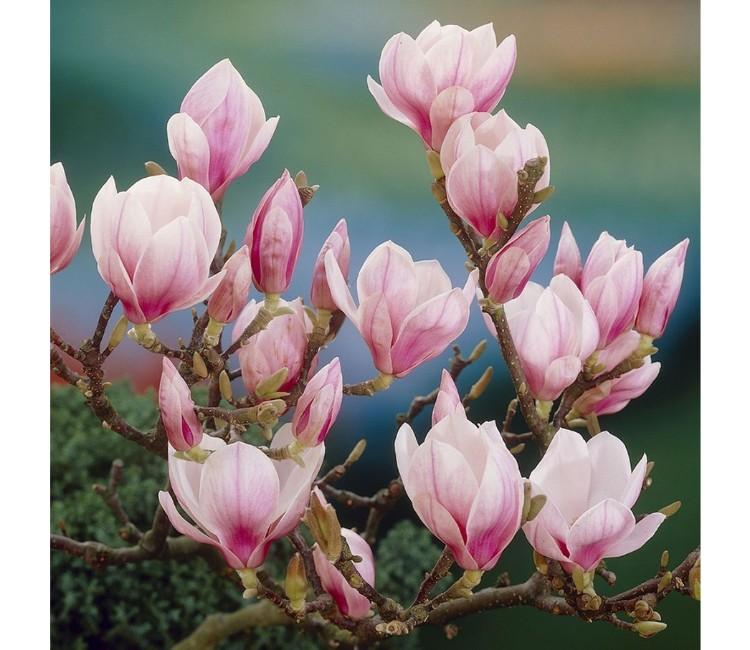 Eine Magnolie richtig pflegen - So bleibt Ihre Magnolie schön