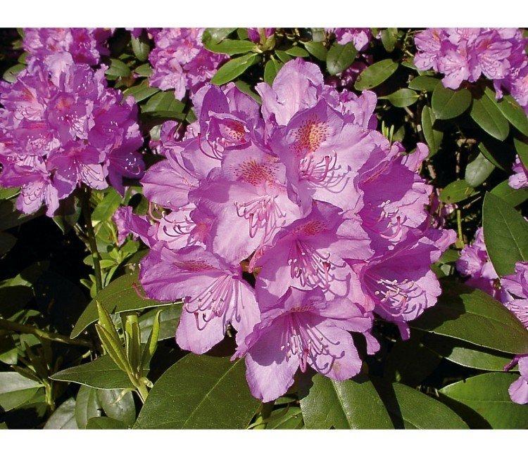 Wann kann ich einen Rhododendron pflanzen?