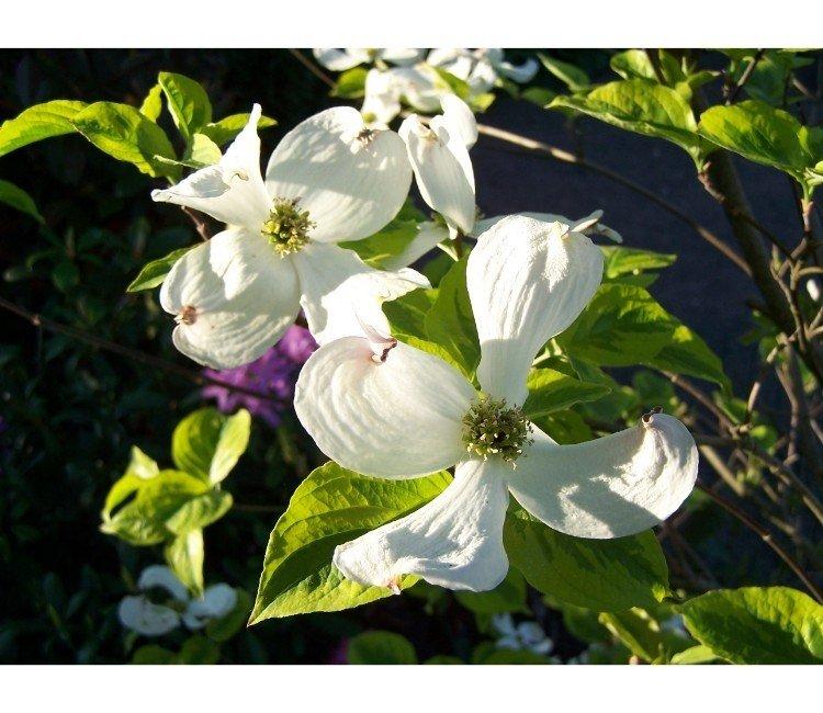 Blühende Sträucher für den Garten – Wow-Effekt garantiert