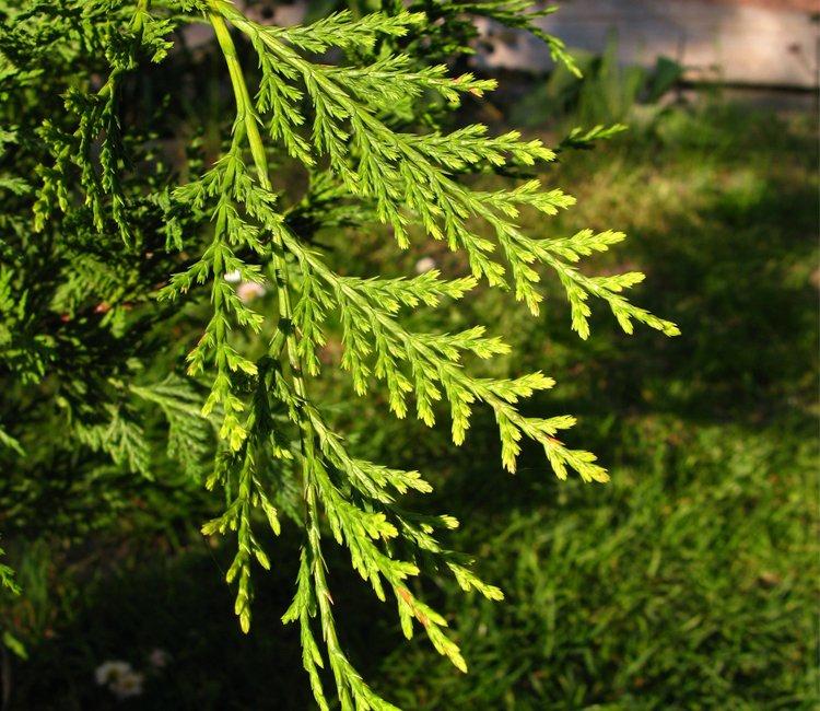 Immergrüner Sichtschutz - die beliebtesten Pflanzen für Ihre Hecke