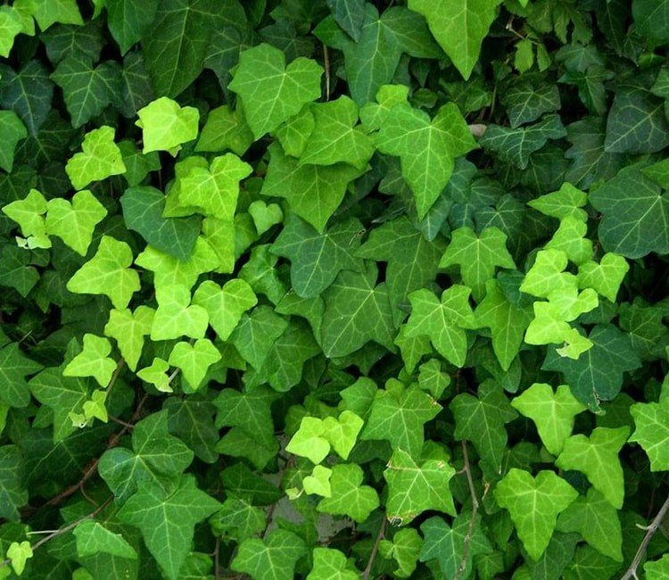 So pflanzen Sie einen Efeu als Sichtschutz in Ihrem Garten
