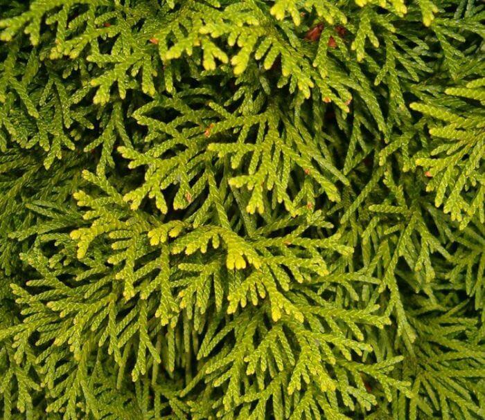 Der Lebensbaum Smaragd als Hecke im Garten