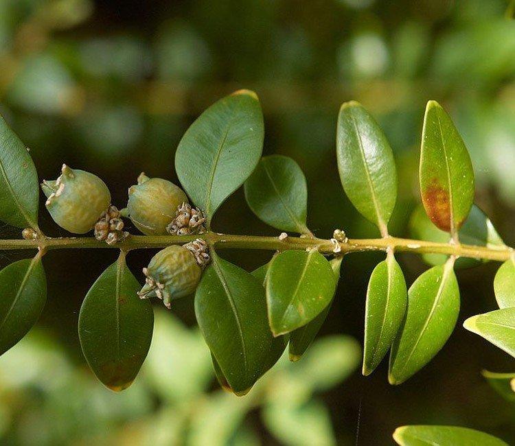Wie sieht der Buchsbaumzünsler aus? Den Buxus-Schädling erkennen