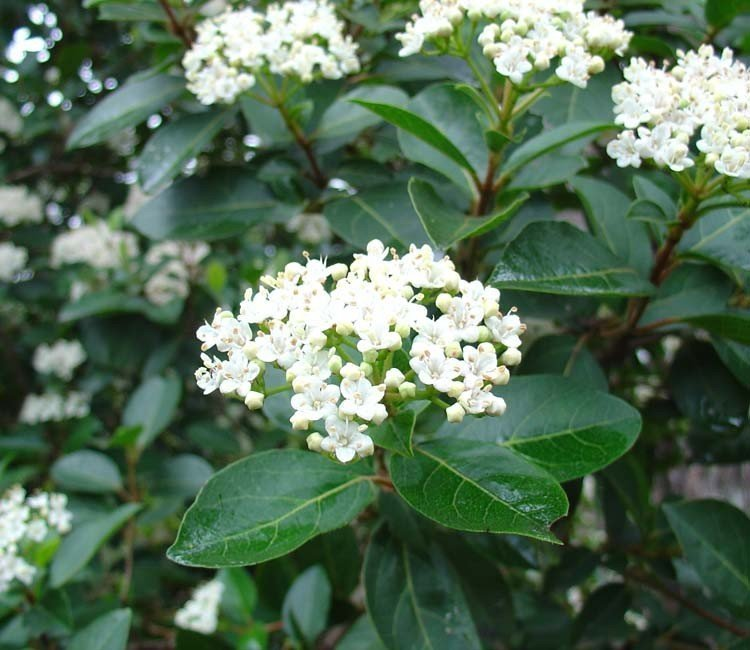 Welche Sträucher sind winterharte Frühlingsblüher?