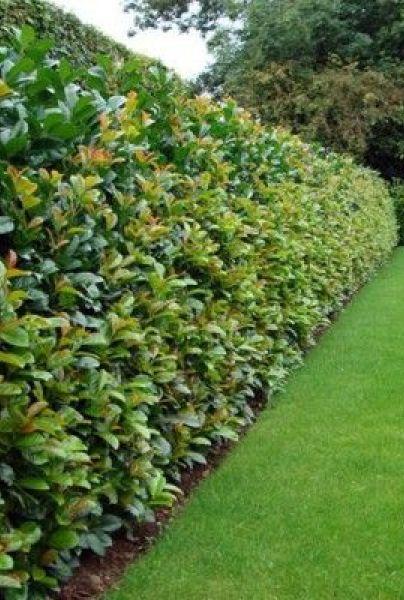 Heckenpflanzen & Sichtschutz Pflanzen kaufen bei HORNBACH