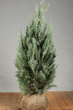 Blaue Scheinzypresse (80-100 cm) Extra Qualtität