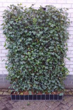 Efeu Fertig-Hecken 180 cm