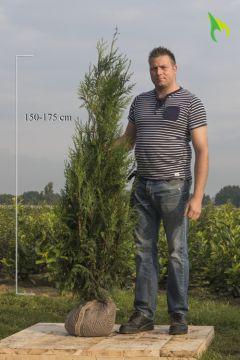 Lebensbaum 'Atrovirens' (150-175 cm) Extra Qualtität