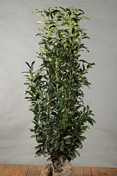 Kirschlorbeer 'Genolia' Wurzelballen 175-200 cm Extra Qualtität