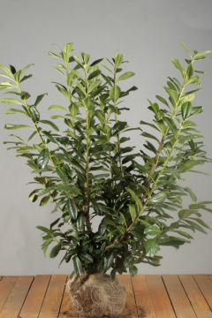 Kirschlorbeer 'Novita' (100-125 cm) Extra Qualtität