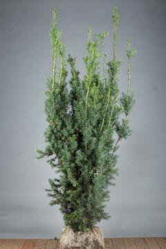 Becher-Eibe 'Hicksii' (150-175 cm) Extra Qualtität