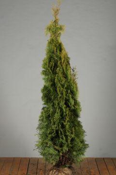 Lebensbaum 'Smaragd' (150-175 cm) Extra Qualtität