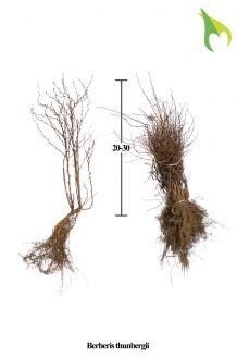 Berberitze Wurzelware 20-30 cm Bare root