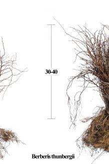 Berberitze Wurzelware 30-40 cm Bare root