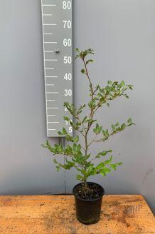 Blutbuche Topf 40-60 cm Topf