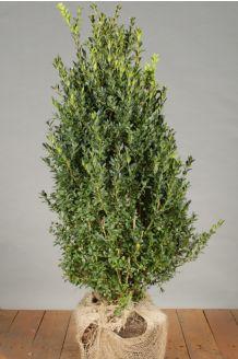 Buchsbaum (60-80 cm) Clod