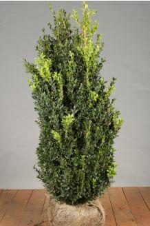 Buchsbaum (80-100 cm) Clod