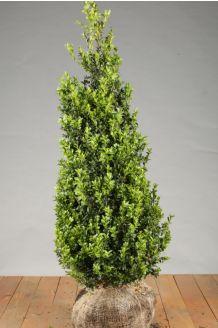 Buchsbaum (100-125 cm) Clod