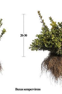 Buchsbaum (20-30 cm) Bare root