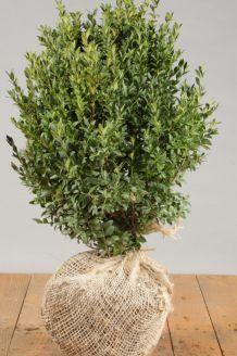 Buchsbaum (30-40 cm) Clod