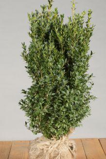 Buchsbaum (50-60 cm) Clod