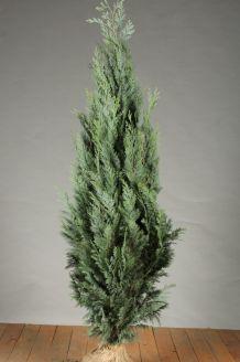 Blaue Scheinzypresse Wurzelballen 125-150 cm Extra Qualtität Clod