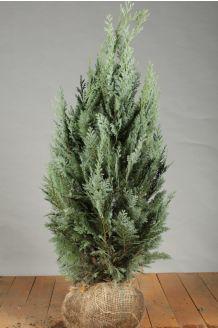 Blaue Scheinzypresse Wurzelballen 80-100 cm Extra Qualtität Clod