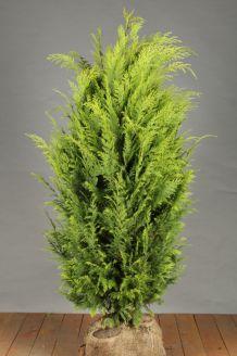 Gelbe Scheinzypresse (125-150 cm) Extra Qualtität Clod