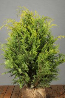 Gelbe Scheinzypresse (80-100 cm) Extra Qualtität Clod