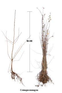 Eingriffeliger Weissdorn Wurzelware 80-100 cm Bare root