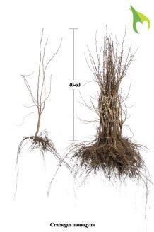Eingriffeliger Weissdorn Wurzelware 40-60 cm Bare root