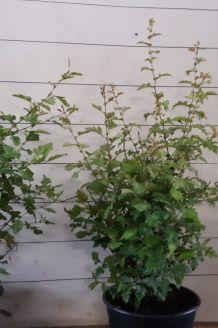 Eingriffeliger Weissdorn Topf (60-80 cm) Pot