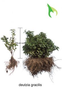 Deutzia gracilis (20-40 cm) Bare root