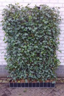 Efeu Fertig-Hecken 180 cm Fertighecke
