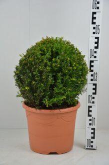 Eibe Kugel (30 cm) Pot