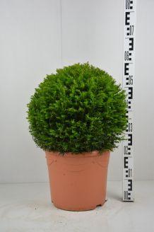 Eibe Kugel (40 cm) Pot