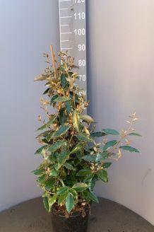 Oelweide (80-100 cm) Pot