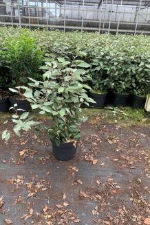 Oelweide (60-80 cm) Pot