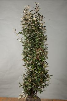 Oelweide (175-200 cm) Clod