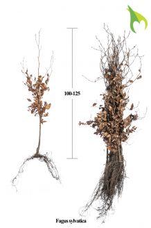 Rotbuche (100-125 cm) Extra Qualtität Bare root
