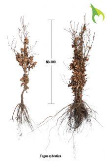 Rotbuche (80-100 cm) Extra Qualtität Bare root