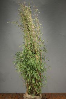Bambus (200-225 cm) Clod