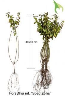 Forsythie 'Spectabilis' (40-60 cm) Bare root